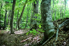 Forest (EiRini_ZachaRO) Tags: trees forest fagus  arnaia