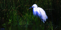 (gshaun12) Tags: white bird art nature water animals closeup landscape bokeh wildlife country fantasticnature