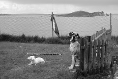 Sea dogs (janewynyard) Tags: ocean ireland blackandwhite howth dog dogs animals islands nikon greatdane oceanview houth