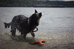 Danube, the river of endless fun for her (kisnikee) Tags: playing water river bordercollie ruby waterdrops
