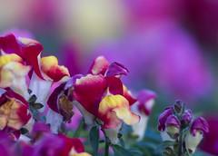 TAIR-11A bokeh (3) (OzzRod) Tags: flowers macro pentax bokeh snapdragons extensiontube gregson k50 tair11a135mmf28