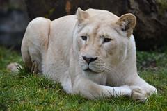 Ilumbo @ Ouwehands Dierenpark 21-03-2016 (Maxime de Boer) Tags: cats white animals zoo big lion dieren rhenen witte ouwehands dierentuin leeuw dierenpark ouwehand katachtigen ilumbo