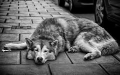 Portrait of a Bristol Street dog (Daz Smith) Tags: city uk portrait people urban blackandwhite bw dog streets blancoynegro monochrome canon fur blackwhite bath candid citylife thecity streetphotography canine canon6d dazsmith bathstreetphotography