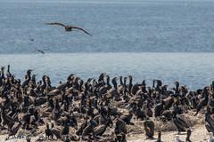 Guano factory (rdroniuk) Tags: birds cormorant waterbirds cormorants doublecrestedcormorant phalacrocoraxauritus oiseaux oiseauxdeleau cormoranàaigrettes