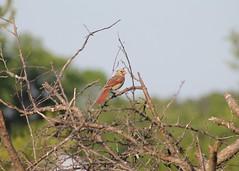 Female Cardinal (Moon Rhythm) Tags: birds female cardinal maryland mybackyard