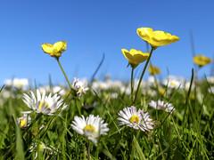 Buttercups and daisies (Wouter de Bruijn) Tags: flowers plant flower nature grass daisies landscape spring buttercup outdoor depthoffield daisy fujifilm buttercups xt1 fujinonxf14mmf28r