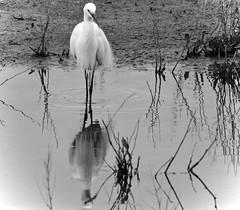 Egret Squared (J @BRX) Tags: uk england blackandwhite bw white lake reflection bird water grey spring pond vignette egret stalking tonal barnsley rotherham southyorkshire littleegret rspb egrettagarzetta wader wombwell oldmoor april2016