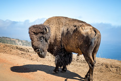 Old Man (Muzzlehatch) Tags: ocean california old us catalina buffalo unitedstates flies bison avalon