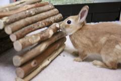Ichigo san 219 ICHIGO san  (mensore) Tags: family pet brown cute rabbit bunny dwarf netherland ichigo   netherlanddwarf