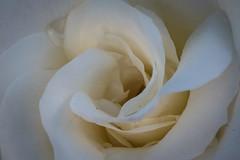 De blanco (cmarga28) Tags: macro cerca color blanco crema belleza beauty flor rosa planta delicada photography close yellow nikon naturaleza digital raw d750