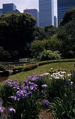Japanese irises and tall buildings, in Ninomaru Garden 2016/06 No.1(taken by film camera). (HIDE@Verdad) Tags: 50mm fuji voigtlander provia colorskopar 400x vito2