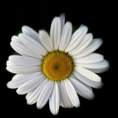 _IMG0759 (HyperNotActive) Tags: flowers 50mm pentax m42 manualfocus t2850ausjenaddr darktable pentaxks1