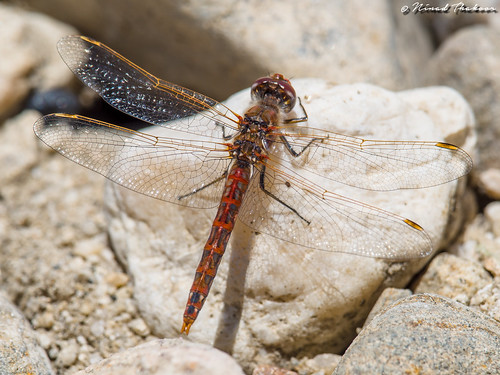 "Variegated Meadowhawk • <a style=""font-size:0.8em;"" href=""http://www.flickr.com/photos/59465790@N04/27362829610/"" target=""_blank"">View on Flickr</a>"