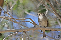 African Dusky Flycatcher- Skukuza, South Africa (wsweet321) Tags: africa bird nature southafrica mammal birding safari research endangered krugernationalpark kruger satara bigfive skukuza knp lowersabie