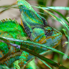 XT1F5833 (James Ito) Tags: england places longleat chameleon longleatsafaripark
