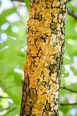 Frio River-7012 (Daniel Ray) Tags: branch grow lichen tree yellow