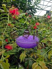 Glasswings (arda292000) Tags: butterfly wings butterflies magicwings butterflyconservatory gretaoto southdeerfieldma