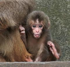 Japanese macaque artis JN6A9628 (j.a.kok) Tags: artis macaque japanesemacaque makaak japansemakaak