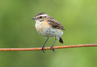 WHINCHAT....female....Powys.