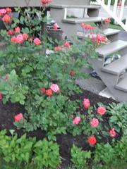 ** Le rosier et l'escalier ** (Impatience_1 (Peu...ou moins prsente)) Tags: rosier rosebush rose fleur flower escalier stairs m impatience wonderfulworldofflowers saveearth coth coth5