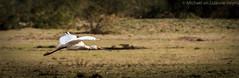 Zambia 2014 (michael heyns) Tags: birdsinflight zambia lepelaar