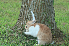 20160605-IMG_8376.jpg (ina070) Tags: animals canon6d grass pet rabbit