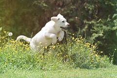 Puppy (cheekboneshelly) Tags: puppy spring jump hund springtime frhling welpe