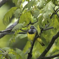 Mourning Warbler - Geothlypis philadelphia (Dave Boltz) Tags: nature birds outdoors mourning westvirginia warbler woodwarbler mourningwarbler pocahontascounty geothlypisphiladelphia canon7dmarkii paddyknob