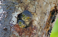 Northern Pygmy Owlets (Thy Photography) Tags: bird nature animal canon photography backyard outdoor wildlife owl avian northernpygmyowl canon600mmf4 canoneos1dx northernpygmyowlet