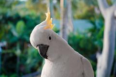 Cocky (..andy.) Tags: bird island hamilton australia cockatoo