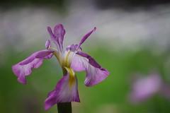 はなしょうぶ (花菖蒲) /Iris ensata (nobuflickr) Tags: iris flower nature kyoto 京都 apan 平安神宮 花菖蒲 irisensata heianjingushrine japanesewateriris awesomeblossoms はなしょうぶ 平安神宮神苑 アヤメ科アヤメ属 20160609dsc02067