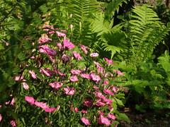 (JuLi-Design) Tags: pink fern garden garten farn feathered federnelke