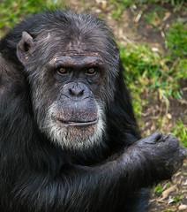 I see you! (jane.renton) Tags: chimpanzee edinburghzoo