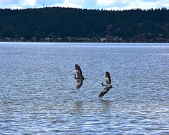 Heron_7711a (johnmoffatt2000) Tags: blue two lake heron water flying wings couple pair soaring issaquah sammamish skimming