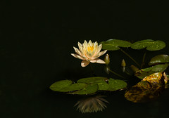 Stillness (Irina1010) Tags: waterlily yellow lilypods pond flower stillness nature canon ngc npc