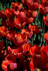 DSC_3708 (Copy) (pandjt) Tags: ca flowers canada bc britishcolumbia tulip abbotsford tulipfestival abbotsfordtulipfestival