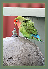 Lovebird At Water Fountain (bigbrowneyez) Tags: lovebird colourful beautifful water waterfountain delightful precious adorable mybackgarden miogiardino nature natura fun entertaining bello bellissimo lovely feathers beak wings frame cornice vibrant lovebirdatwaterfountain uccello uccellino cute