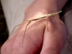Insetto stecco (Bacillus rossius) (Luca Pisani) Tags: elba insetto isola delba bacillus stecco rossius