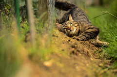 Femke in the dirt. (Ben Duursma) Tags: cat femke feline brown dirt mud rolling around playing grass ben duursma vivid sigma 105mm youngphotographers eyes shallow depth field composition
