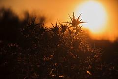 Thorns (Imthearsonist) Tags: chile santiago light sunset naturaleza plant sol colors contraluz atardecer golden plantas thorns espinas canoncamera quebradamacul canonreflext3i