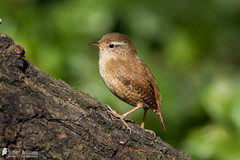 Eurasian Wren (Birds Of Amsterdam) Tags: brown green nature amsterdam birds wren eurasian troglodytes winterkoning