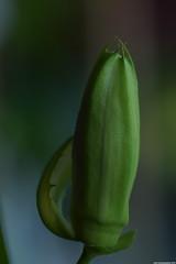 Passiflora La Lucchese Flower Bud (_pkm_photography) Tags: nikon passiflora dslr d3300 pkmphotography2016