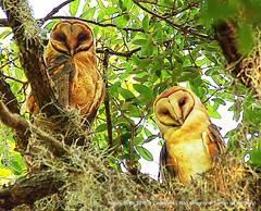 Barn Owls (NancySmith133) Tags: painterly barnowls magnoliapark lakeapopka orangecountyfl centralfloridausa