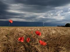 Calm before the storm (AHO66) Tags: summer storm clouds germany landscape deutschland cloudy sommer feld felder wolken poppies landschaft gewitter wolkig sturm niedersachsen mohnblten