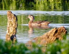 HeronPark20160625-5.jpg (shooter1229) Tags: nature animal outdoors duck wetlands woodduck anatidae aixsponsa heronpark bird20iocreplaceoldbirdlist