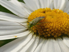 Common Green Capsid. (Peanut1371) Tags: white flower green yellow bug insect daisy nationalgeographicwildlife