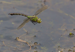 Female Emperor Dragonfly in flight (steb1) Tags: emperordragonfly anaximperator dragonflyinflight dif dragonfly odonata insect canon100400mmf4556lisii