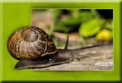 Life might be better on the other side (Boba Fett3) Tags: macro animals closeup garden outside outdoors dof wildlife snail depthoffield upclose molluscs hss canon100mm28l snailsaturday