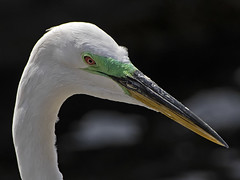 Egret in portrait (ORIONSM) Tags: portrait green bird eye beak egret sigma18250 pentaxk3