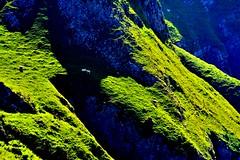 steep sheeps grazing ground (doods-on-and-off) Tags: mountain grass animal rocks sheep sunny lamb ewe